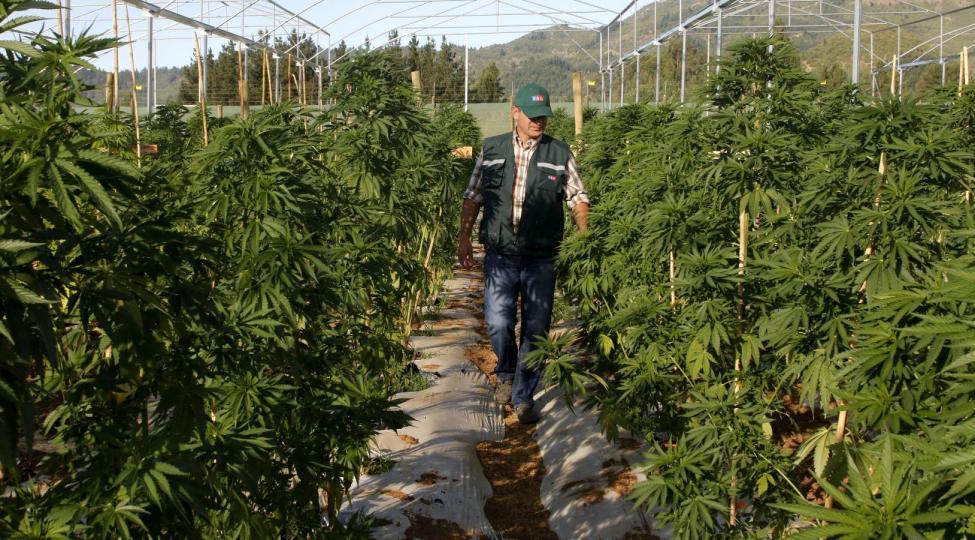 A man walks through a medicinal cannabis plantation, part of a project by Daya Foundation non-governmental organisation, in rural Quinamavida near Talca, Chile, January 18, 2016. REUTERS/Sebastian Martinez  EDITORIAL USE ONLY. NO RESALES. NO ARCHIVE